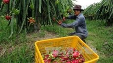 Le Vietnam a exporté 5 tonnes de fruits du dragon à chair rouge vers l'Australie